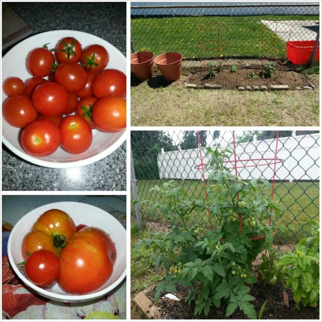 shanella garden tomatoes
